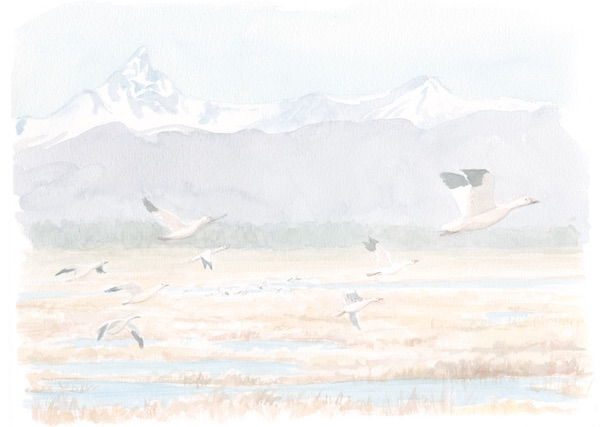 1859_Nov_Dec_2015_Feature-Birding_Karen_Eland_snow-geese-spread