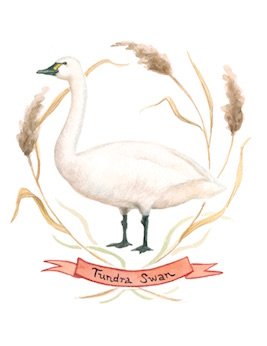 1859_Nov_Dec_2015_Feature-Birding_Karen_Eland_tundra-swan
