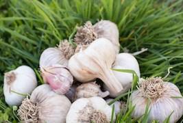 March_April_2015_FarmTable_Garlic_EzraMarcos_005