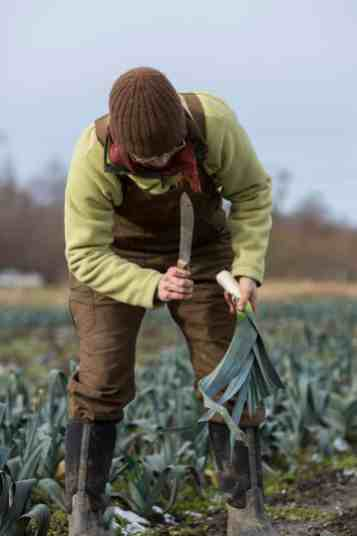 Suzy Strom, harvest manager, trims the roots and tops off a freshly dug leek.