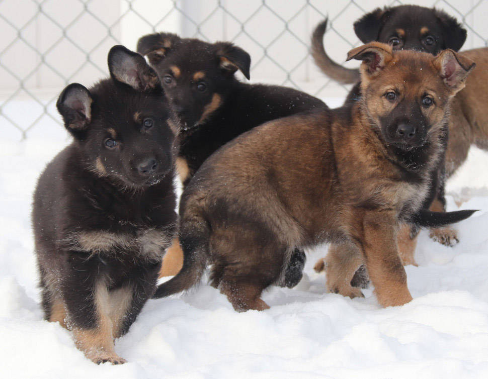 Some of the puppies born at the Police Dog Service Training Centre (PDSTC) in Innisfail, Alta. (RCMP)