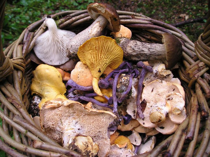 Wild_Fungi 1911hub