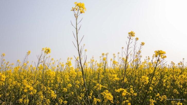 Mustard field, photo by Anil Advani