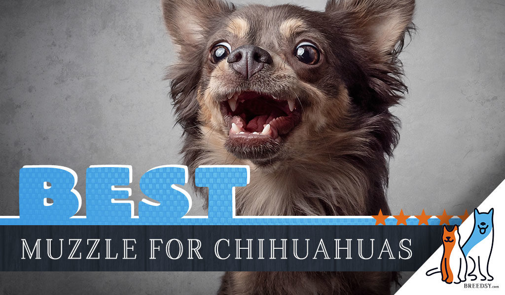 25 Best Memes About Apple Head Chihuahua Apple Head