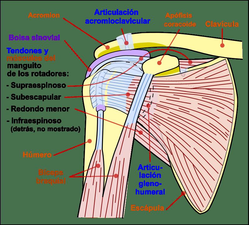 La articulación del hombro o glenohumeral