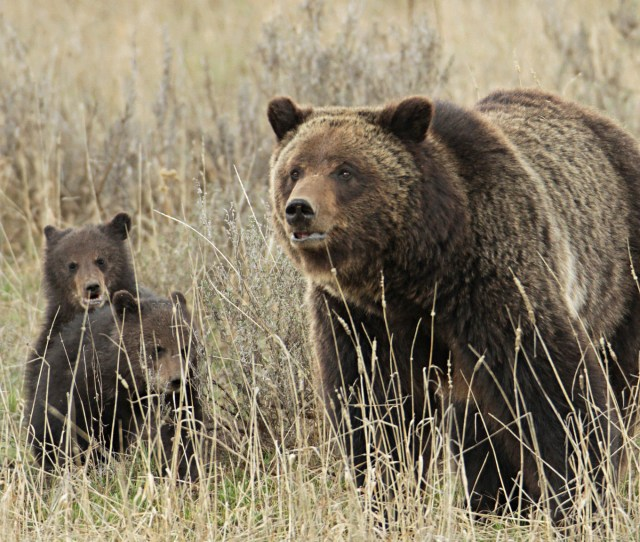 Grizzly Sow And Cubs Near Fishing Bridge In Yellowstone Photo By Jim Peaco Nps