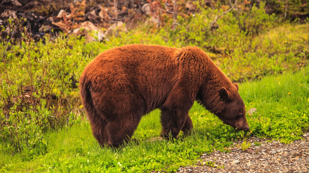 Brown black bear munching spring grass. Photo © Murray Foubister / Wikimedia Commons through a Creative Commons license