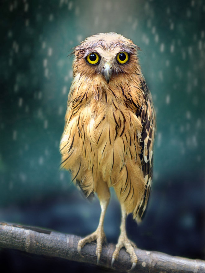 Sad wet owl in the rain.