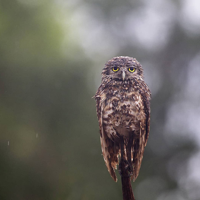 This wet owl is too tired to even care.
