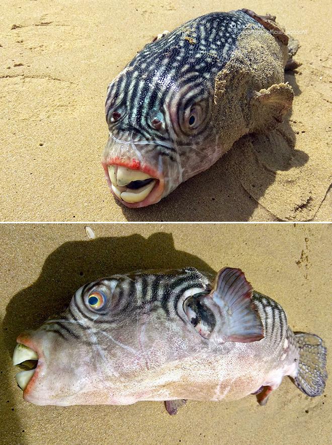 Funny fish with huge teeth.