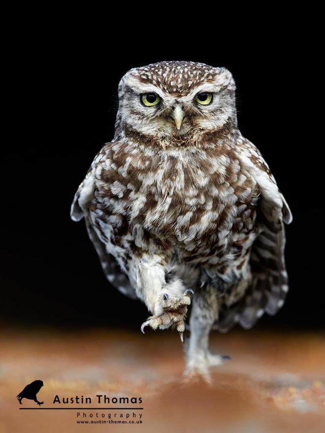Walking owls look so weird.
