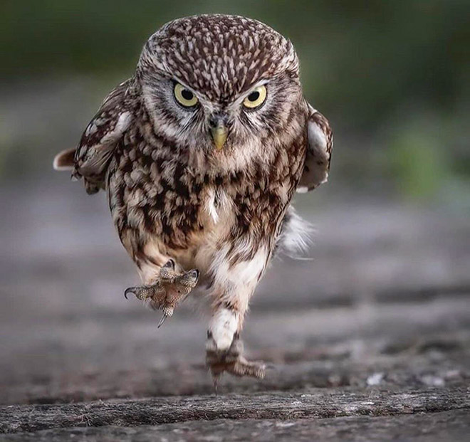 Angry running owl.