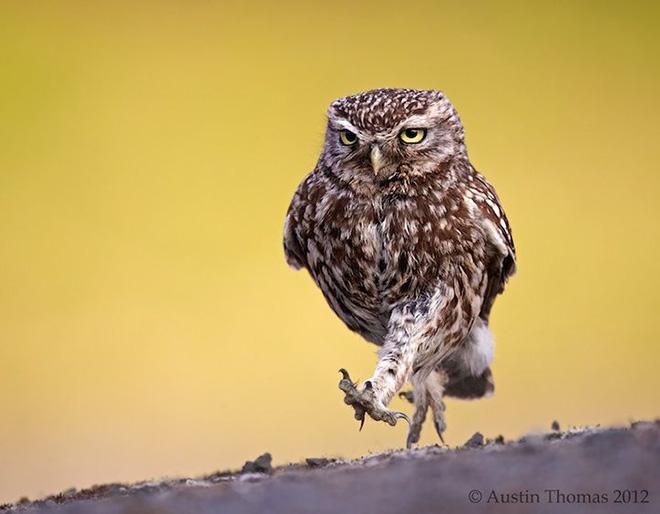 Grumpy walking owl.