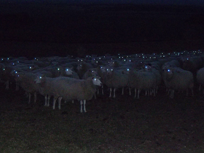 Creepy sheep in the night.