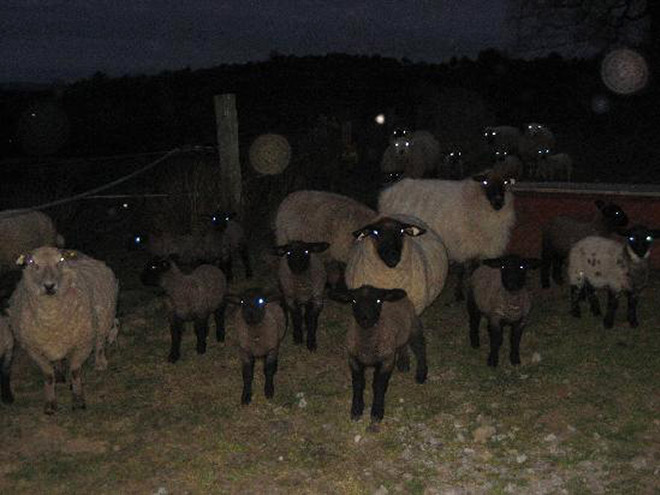 Sheep in the dark.