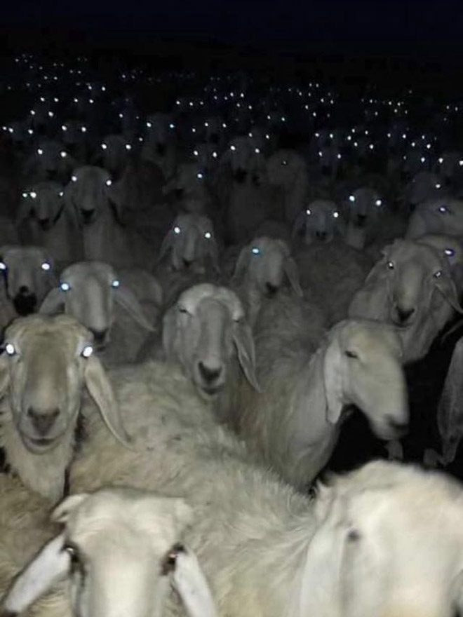 Creepy sheep at night.