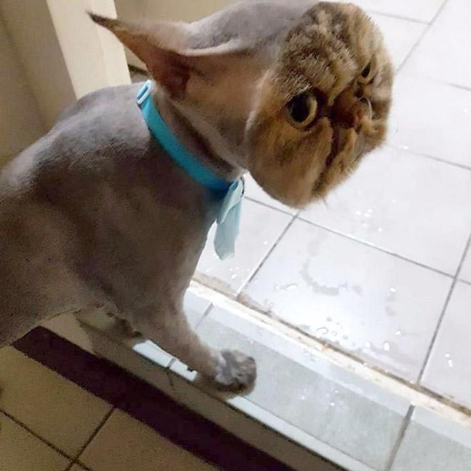 Crazy cat haircut.
