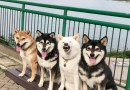 Derpy Shiba Inu Goes Viral For Constantly Ruining Group Photos