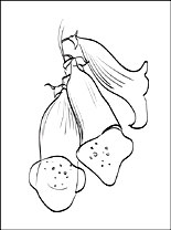 Foxglove Printable And Coloring Page Coloring Pages