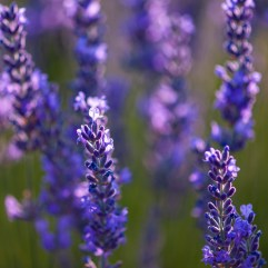 1create - Lavender 1 by Banu Nazikcan