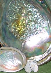 group of abalone shells