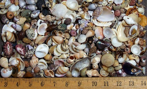 tiny shells sized