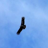 El vuelo mágico del Cóndor…