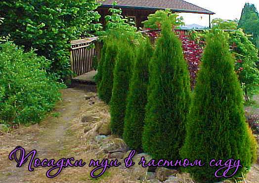 Посадка туи в частном саду