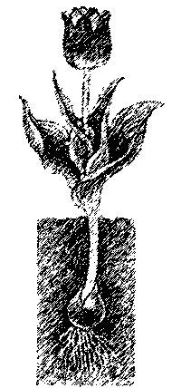 Хранение луковиц тюльпанов 3