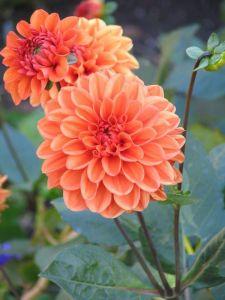 Хризантема оранжевая