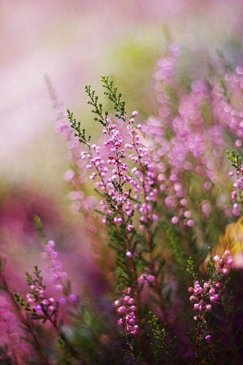 цветущий вереск