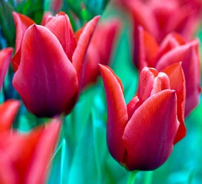 красные тюльпаны фото