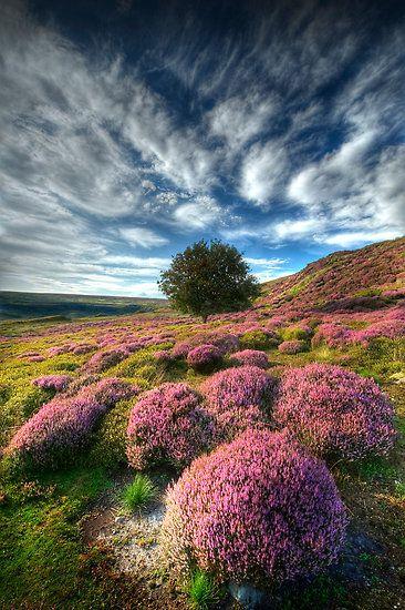 Цветущий куст вереска