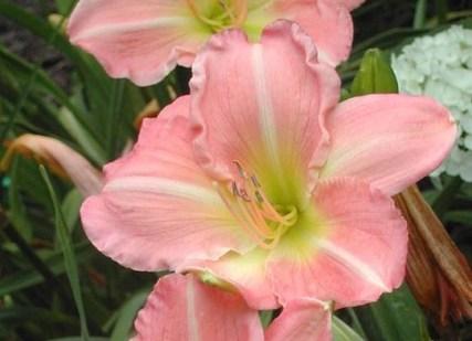 Нежный розовый сорт лилии