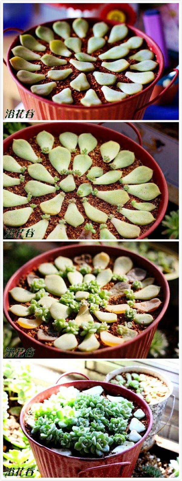 Пример высадки суккулентов в горшке из листьев