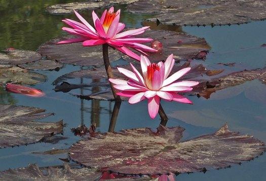 водяные лили нимфеи фото 7