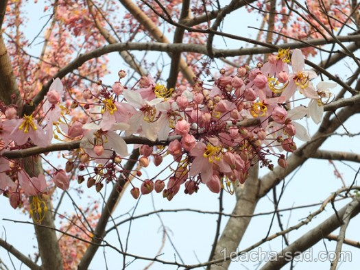 цветущие деревья фото (1)
