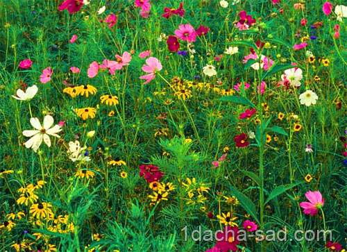 цветущий газон на даче