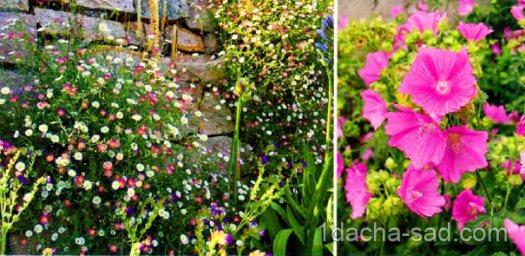 неприхотливые многолетние цветы для дачи (7)
