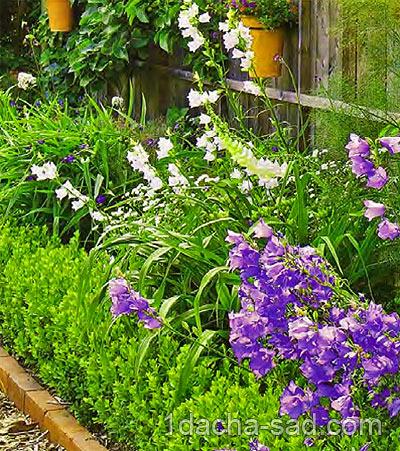 неприхотливые многолетние цветы для дачи (10)