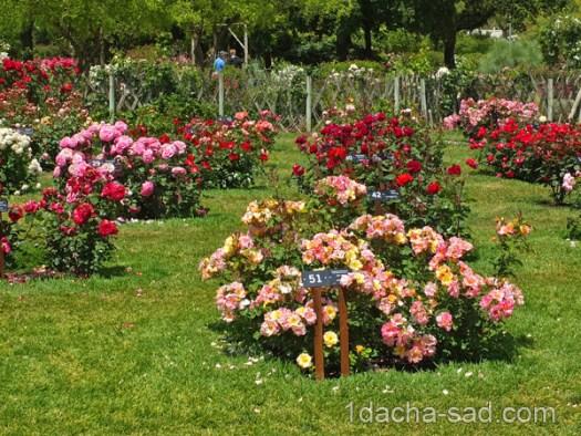 красивый розарий фото (4)