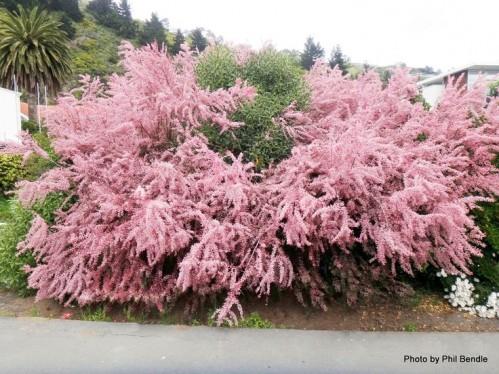 Тамарикс цветет