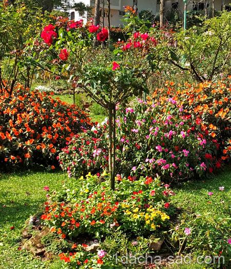 штамбовые розы фото