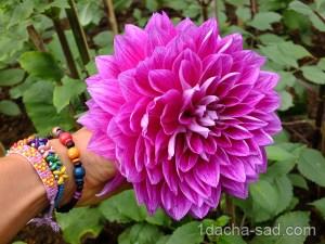 большие цветы георгины