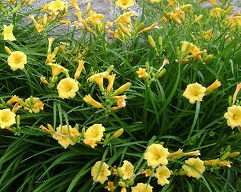 Цветущие садовые многолетники лилейник 17
