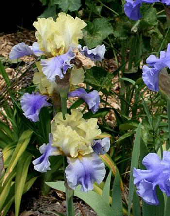 Цветущие садовые многолетники ирисы 18