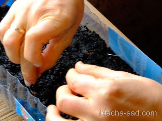 Посадка семян бархатцев на рассаду