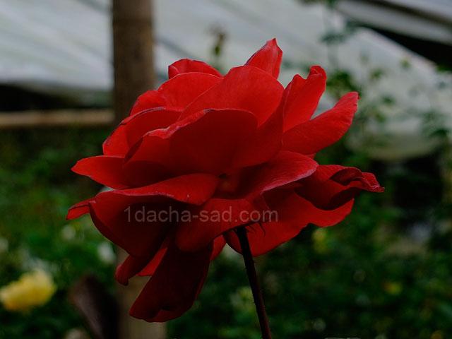 Фото шикарных роз из королевского парка 6