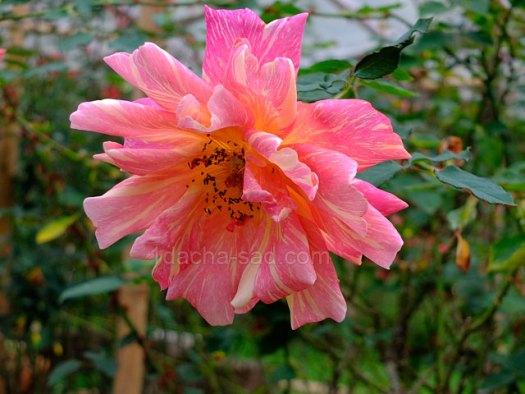 Фото шикарных роз из королевского парка 1