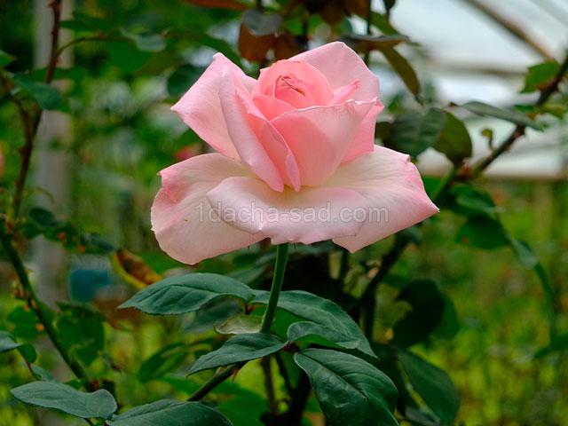 Фото шикарных роз из королевского парка 15